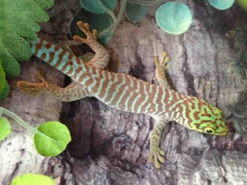 Standings Day Gecko