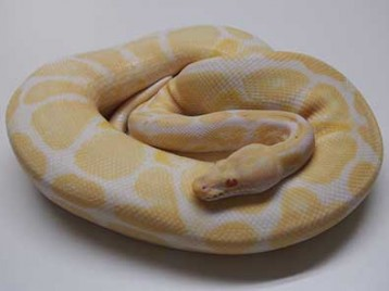 Adult Albino Ball Pythons
