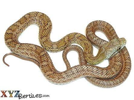 Baby Kunashir Island Japanese Rat Snake