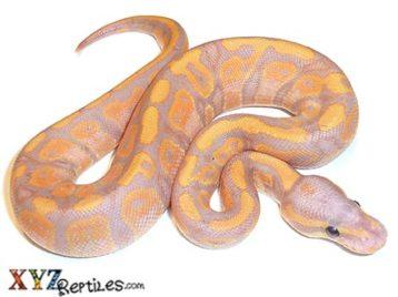 Baby Banana Ball Python