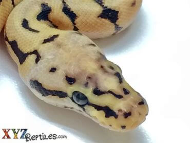 bumblebee ball python for sale