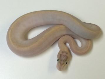 Baby Vanilla Ivory Ball Python