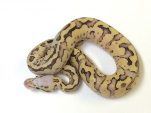 Baby Vanilla Scream Ball Python