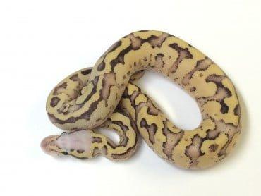 Vanilla Scream Ball Python