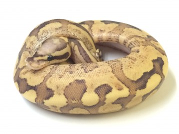 Baby Vanilla Cream Yellowbelly Ball Python