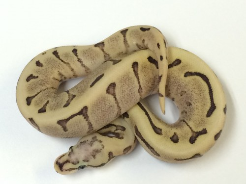 Baby Vanilla Flame Spider Ball Python