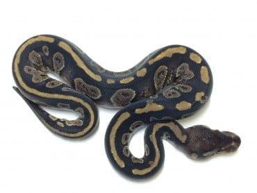 Mahogany Ball Python