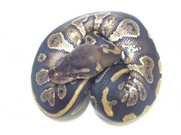 Baby Mahogany Ball Python