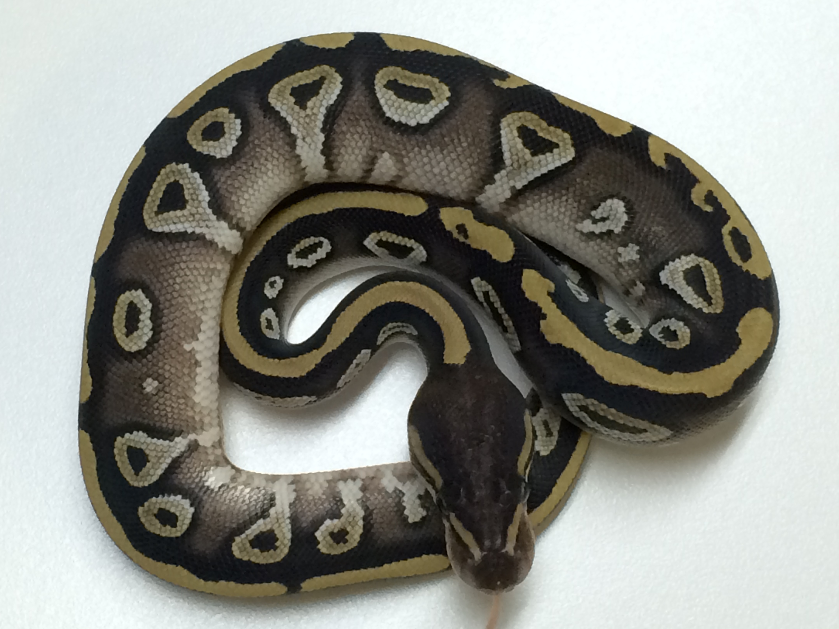 Mojave Ball Python For Sale - xyzReptiles