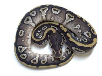 Baby Mojave Ball Python