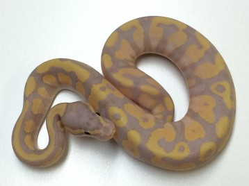 Baby Yellowbelly Banana Ball Python