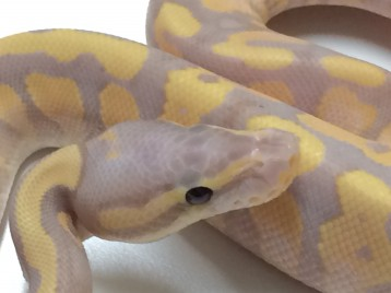 Baby Yellowbelly Banana Ball Python
