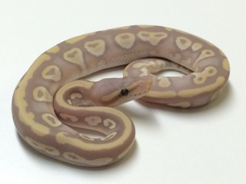 Baby Mojave Yellowbelly Banana Ball Python