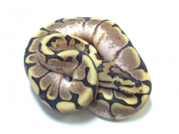 Baby Spider Yellowbelly Ball Python