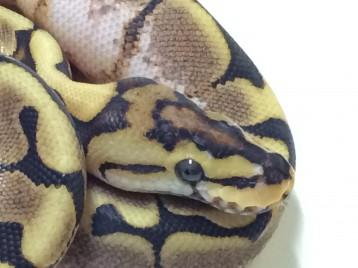 Baby Spider Yellowbelly Ball Python