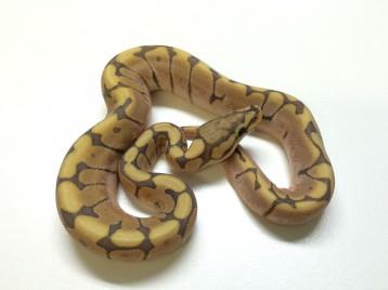 Baby Honeybee Ball Python
