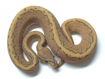 Baby Pinstripe Ghost Ball Python