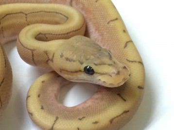 Baby Spinner Ghost Ball Python