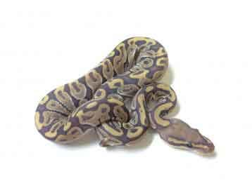 Baby Ghost Ball Python