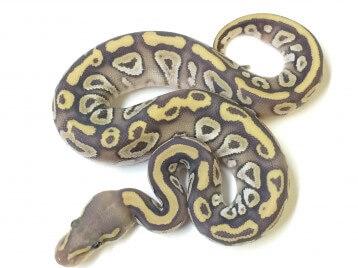Baby Mojave Ghost Ball Python