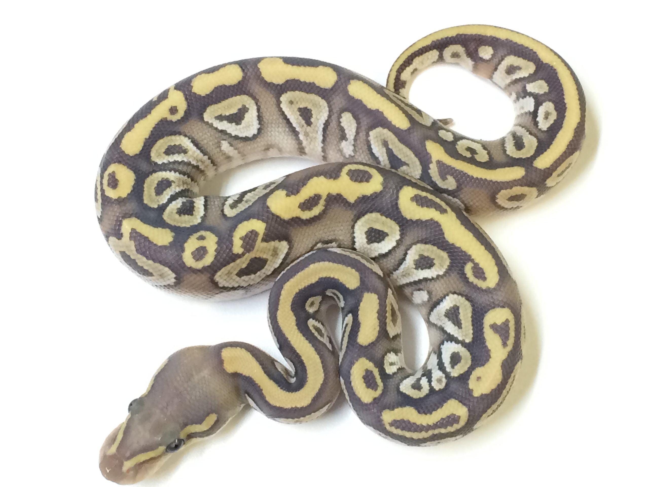 mojave ghost ball python for sale