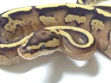 Baby Superstripe Ball Python