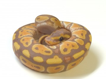 Baby Mahogany Banana Ball Python