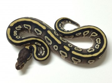 Baby Black Potion Ball Python