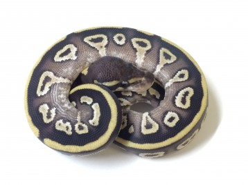 Baby Black Potion Ball Python