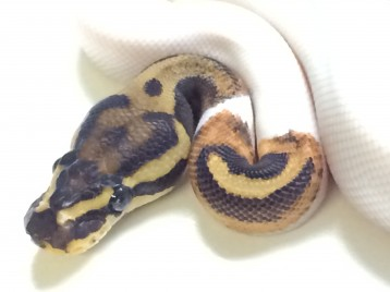 Baby Flame Leopard Pied Ball Python