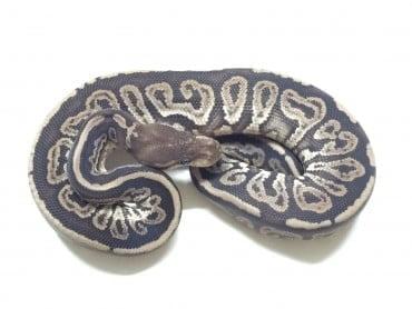Gargoyle Ball Python