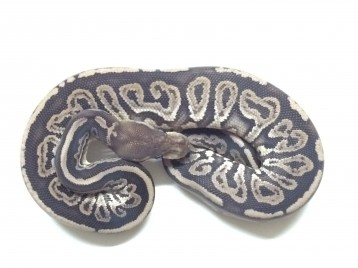 Baby Gargoyle Ball Python