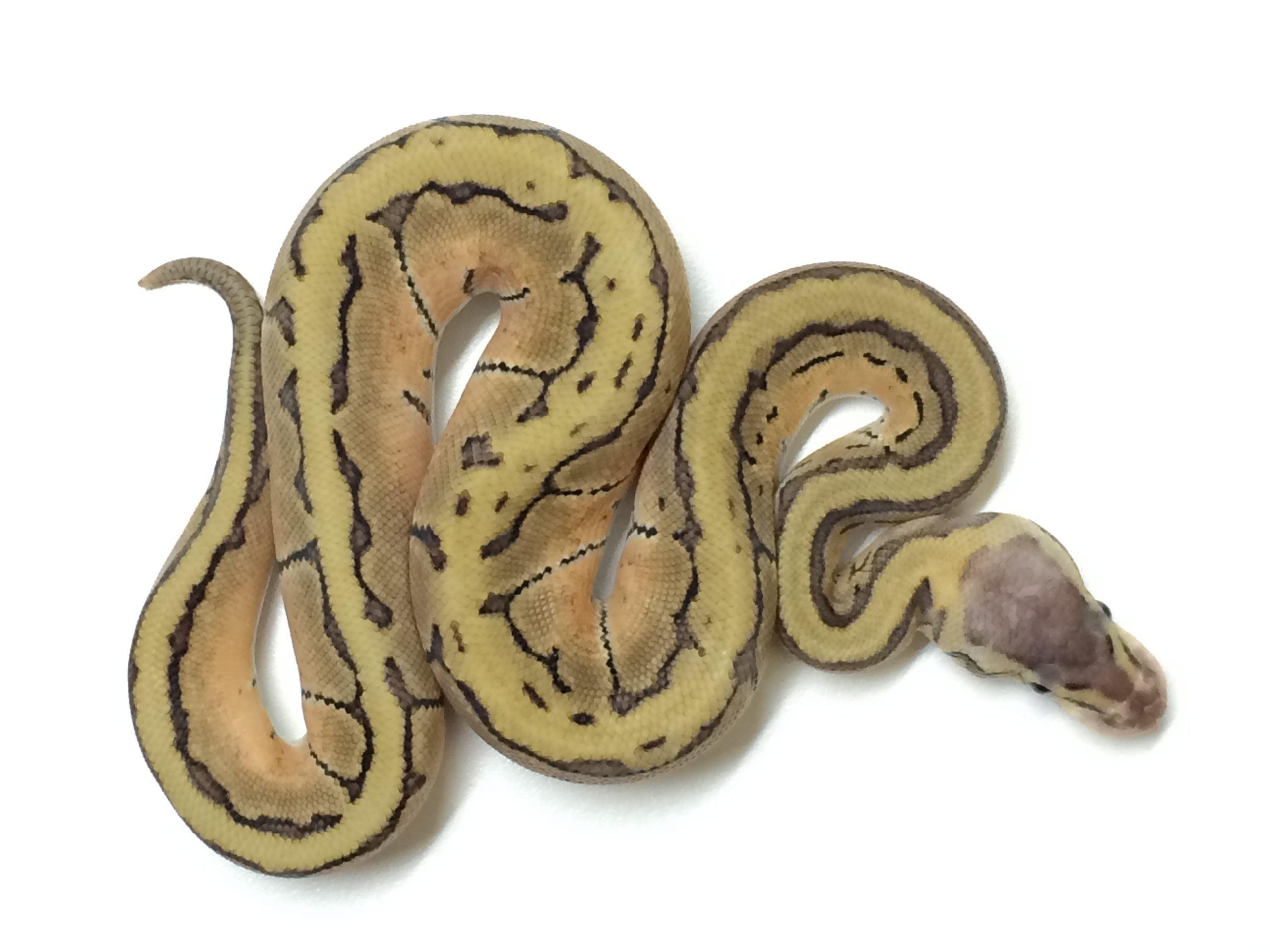 baby lemon blast ball python for sale