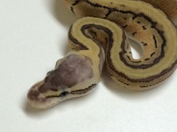Baby Lemonblast Ball Python