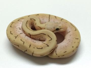 Baby Spinnerblast Ball Python