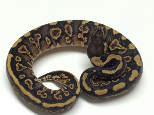 Baby Cinnamon Yellowbelly pos het Pied Ball Python