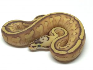 Baby Pastel Enchi Superstripe Ball Python