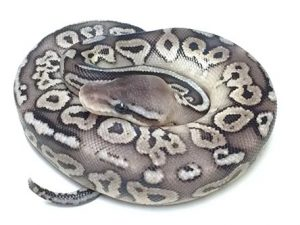Baby Vanilla Pewter Ball Python