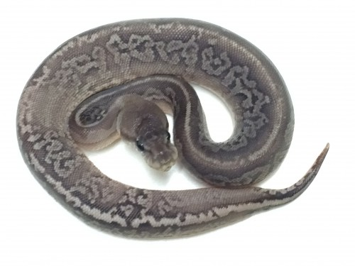 Baby Vanilla Gargoyle Ball Python