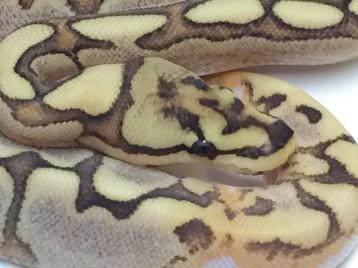 Baby Spider Yellowbelly Brite Ball Python