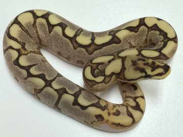 Baby Spider Yellowbelly Brite Ball Python