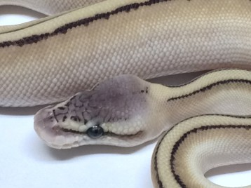Baby Pastel Butter Genetic Stripe Ball Python