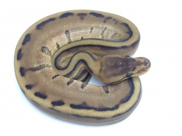 Baby Genetic Stripe Ball Python