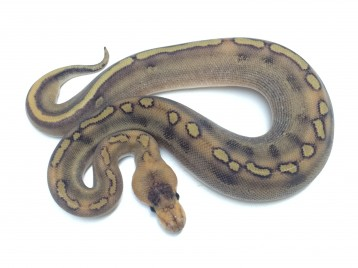 Baby Champagne Green Pastel Ball Python