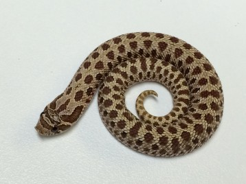 Tiger Western Hognose Snake