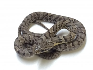 Korean Rat Snake