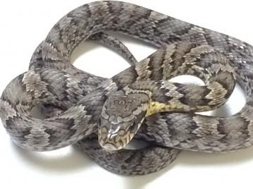 Korean Rat Snake