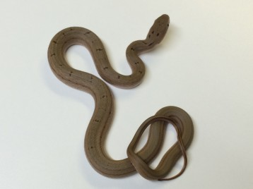 Chinese King Rat Snake