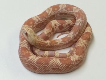 Albino Northern Pine Snake