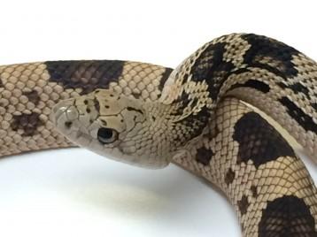 Het Albino Northern Pine Snake